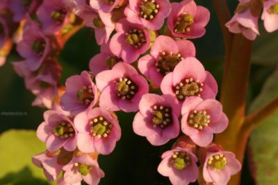 Бадан, цветки, фото