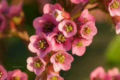 Бадан толстолистный, цветущий, июнь, фото