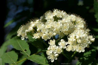 Цветущая рябина, цветки рябины, фото