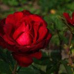 Цветущая роза, красивая, красная, сад, фото