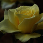Жёлтая роза, фото, макро