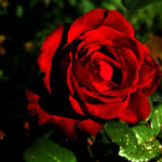 Распустившаяся роза, красная роза, фото