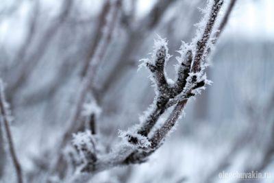 Ветка груши, зима, иней, фото