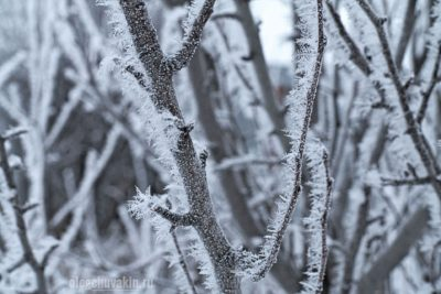 Иней, дерево груша, зима, ветки, фото