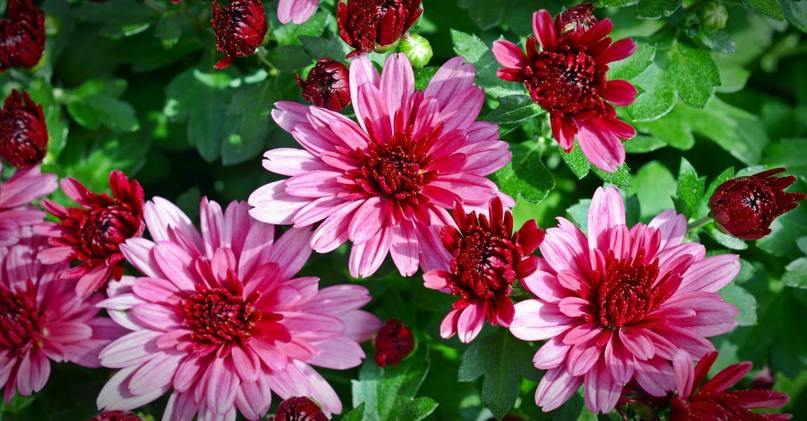 Розовые хризантемы, цветут