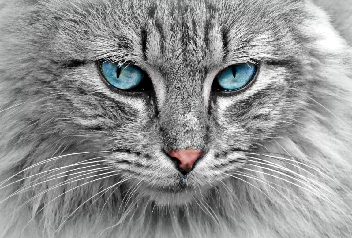 Кот, серый, сибирский