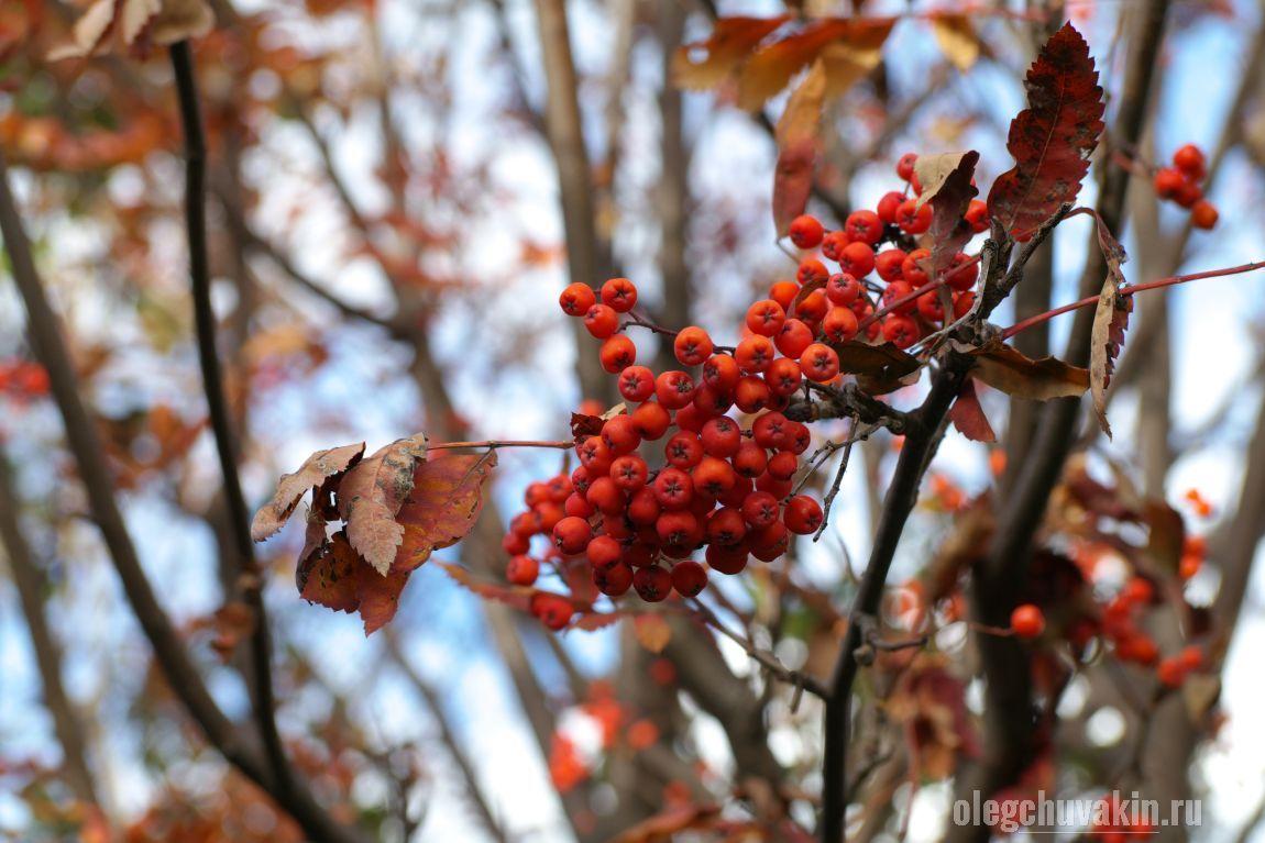 Рябина, лето прошло, лес, красные ягоды, гроздь рябины, сентябрь