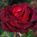 Красная роза, в саду, фото, макро