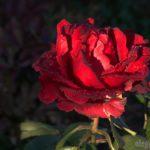 Мокрая роза, красная, дождь, капли дождя, лепестки, фото