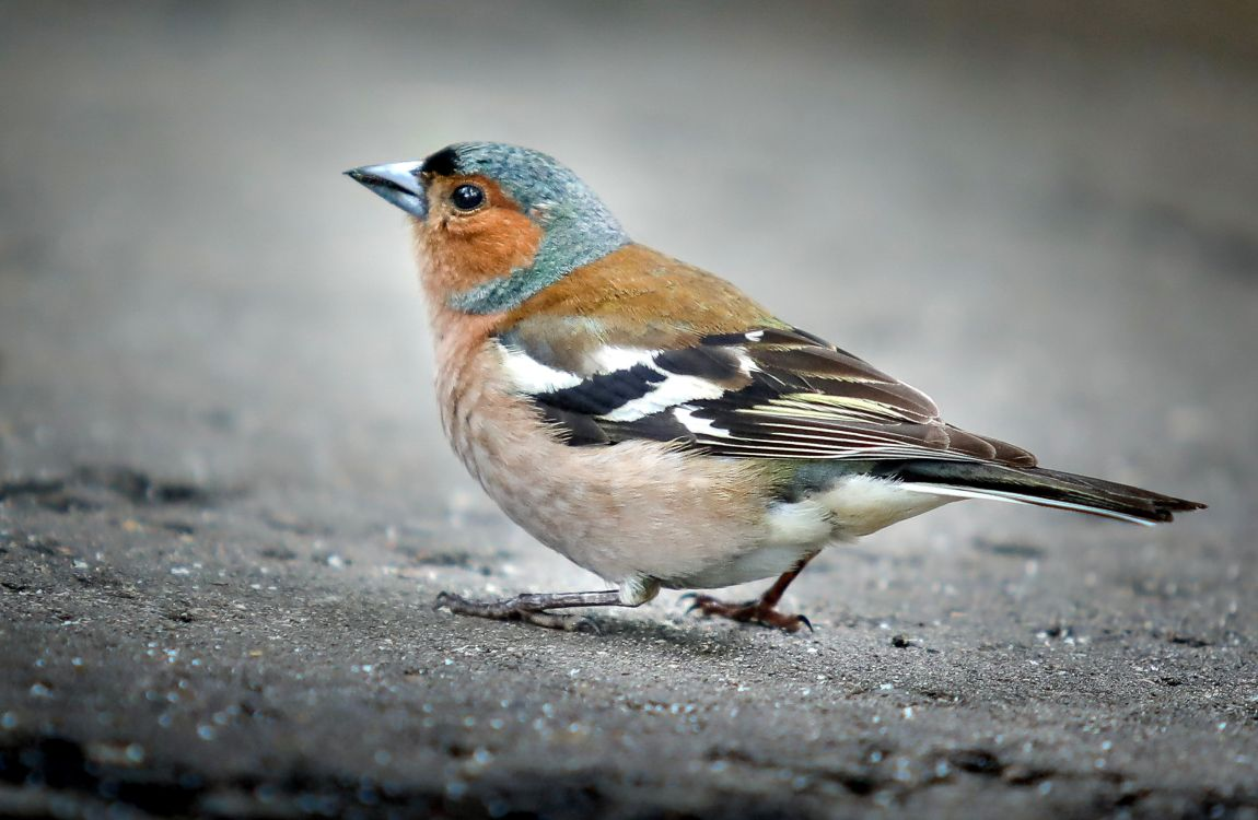 Зяблик, птица, на дорожке