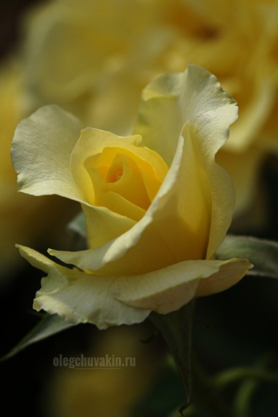 Жёлтая садовая роза для Инным Ким