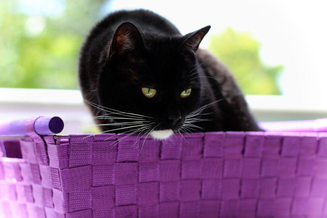 Чёрный кот, золотые глаза, белое пятно, корзинка