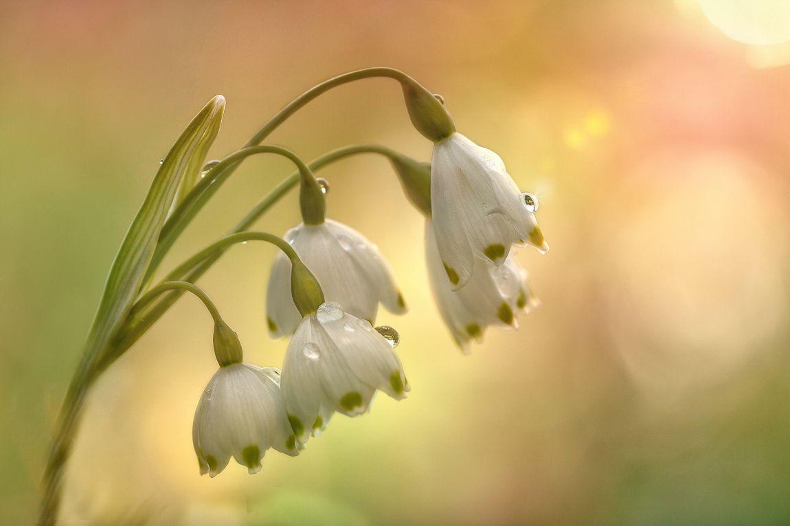 Подснежники, апрель, весна, любовь