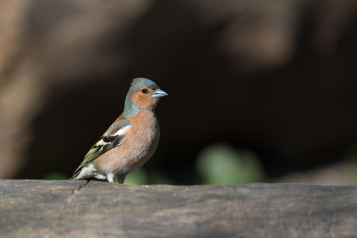 Зяблик, птица, дерево, фото