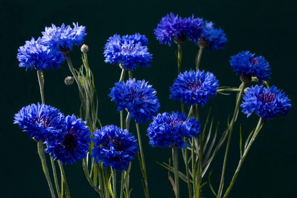 Васильки, синие цветы, память одиночества