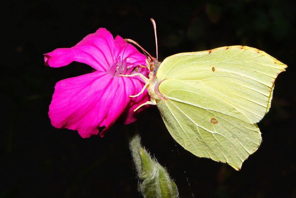 Бабочка, лимонница, gonepteryx rhamni, Набоков
