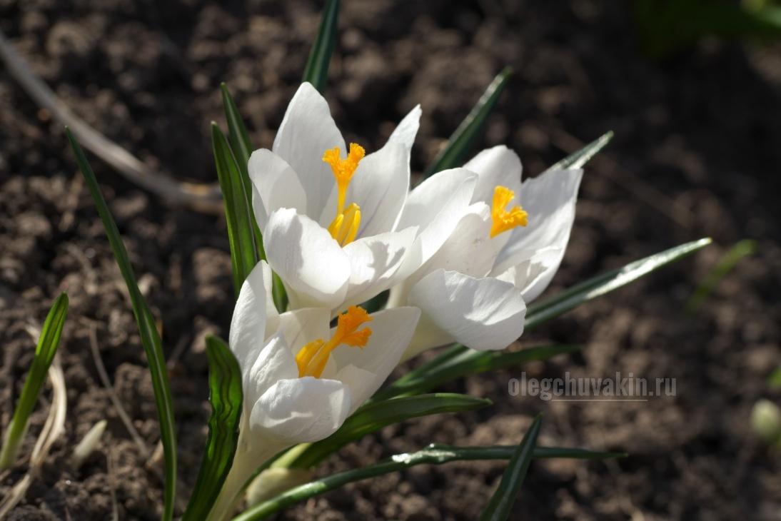 Крокусы, белые, цветы, сад, май, фото