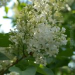 Сирень, белая, цветки, листья, солнечный день, фото