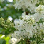 Белые грозди, сирень, майские фотоснимки
