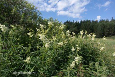 Таволга, Filipendula, цветущая