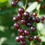 Черёмуха, сорт, гранатовая гроздь