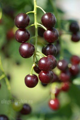 Гранатовая гроздь, черёмуха, фото, макро