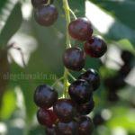 Черёмуховая гроздь, красивое фото, июль