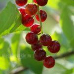 Черёмуха, сорт, поздняя радость, ягоды