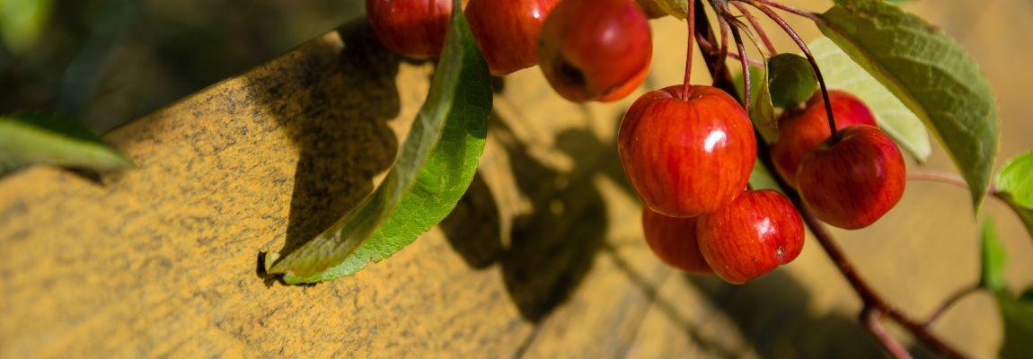 Malus silvestris, дикая яблоня, яблочки, красные