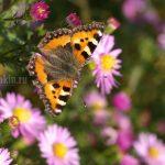 Бабочка, крапивница, осень, фото