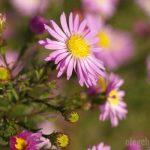 Сентябрины, цветы, фото