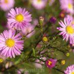 Цветущие сентябрины, октябрь, пришло тепло, фото