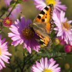 Бабочка, крапивница, сентябрины, фотоснимок
