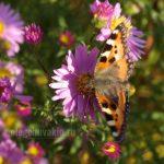 Крапивница, бабочка