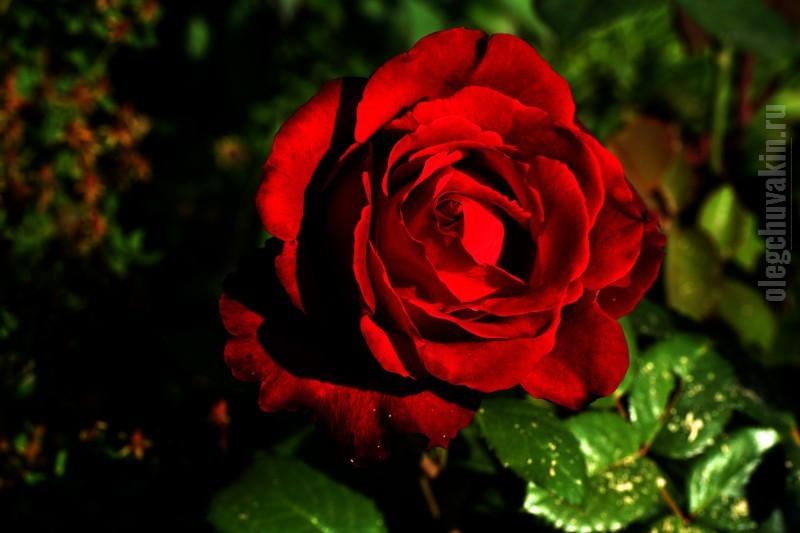 Роза. Красная. Садовая. В подарок!