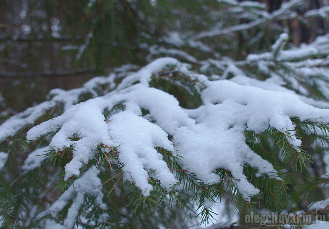 Снег, ветки, ели, юбилей, Счастье слова, сайт Олега Чувакина, пять лет