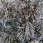 Сибирский кедр, pinus sibirica, сосна сибирская кедровая