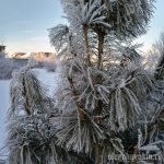 Сосна сибирская кедровая, фото, кедр, зима, январь